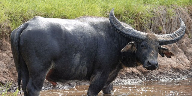 Indonesian Riverine Buffalo