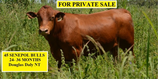 45 SENEPOL BULLS FOR PRIVATE SALE