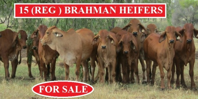 15 REGISTERED BRAHMAN HEIFERS (For Sale)