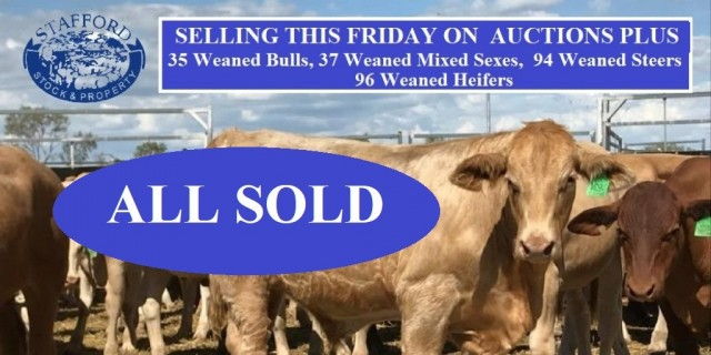 Stafford Livestock Selling Auctionplus ALL SOLD