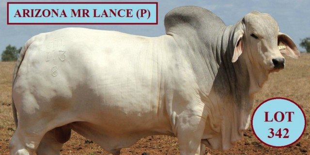 Arizona Brahmans Big Country Sale 2020