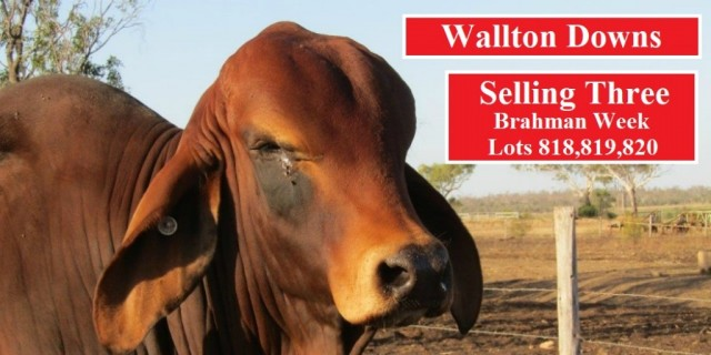 Wallton Downs Brahman Week 2020