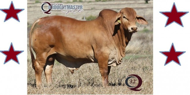 Minlacowie and Wingfield Droughtmasters (Sale Bulls)
