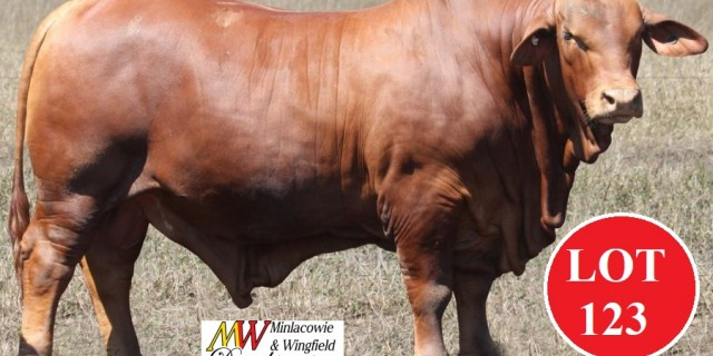 Minlacowie Bulls for Roma Sale