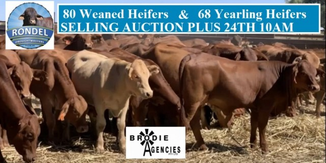 Selling 80 Weaned Heifers & 68 Yearling Heifers
