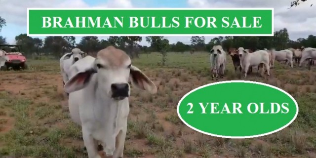 Brahman Bulls For Sale