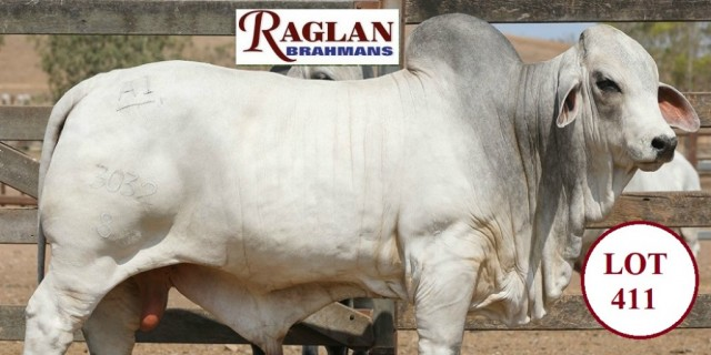 Raglan Brahmans Big Country Sale 2020