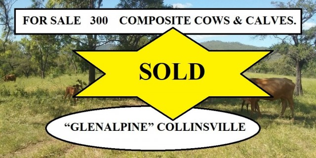 FOR SALE: 300  COMPOSITE COWS & CALVES.
