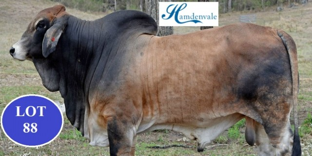 HAMDENVALE BRAHMANS BIG COUNTRY 2020 SALE