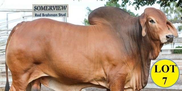 SOMERVIEW RED BRAHMANS.BIG COUNTRY SALE 2020...