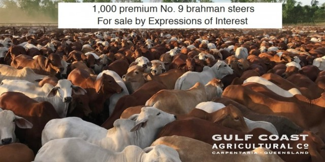 FOR SALE 1,000 STEERS